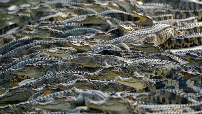 50 live crocodiles from Malaysia seized at London airport