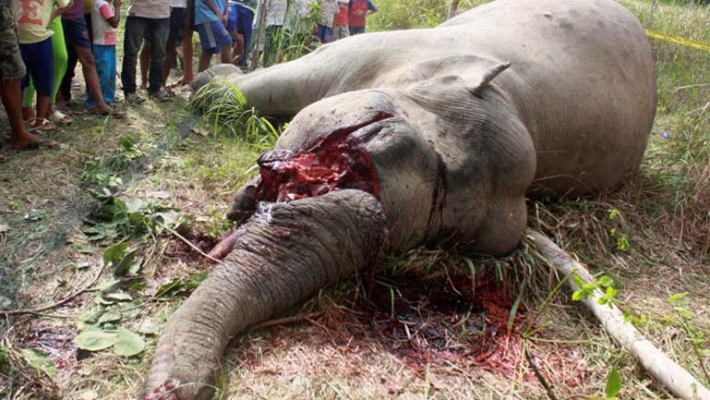 Most elephant killings reported in Kerala; 136 since 2008
