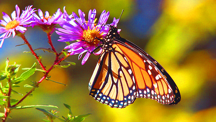 A Chicago woman's home-raised monarch butterfly makes it to central Mexico, 2,000 miles away