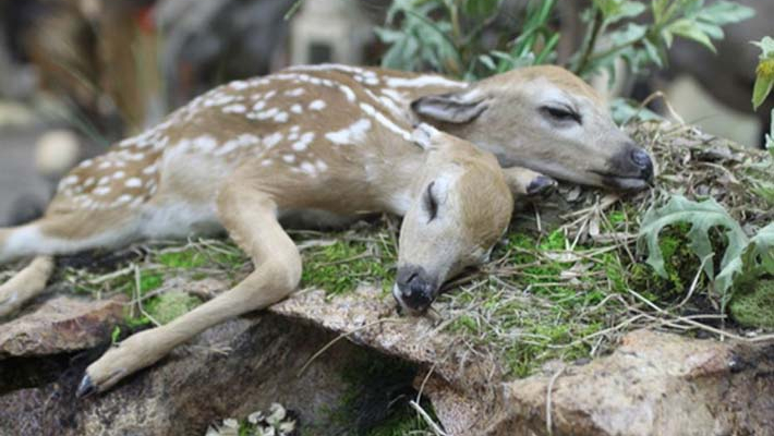 World's first two-headed baby deer found