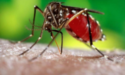 Indian scientists make Ayurvedic drug to cure dengue