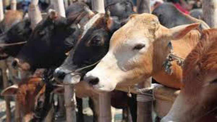 Over 70 cows die in shelter in Haryana's Panchkula due to suspected food poisoning